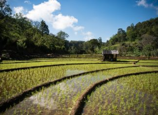 Cultural roots behind paddy cultivation